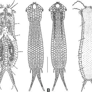 Macrodasyida, Xenodasyidae