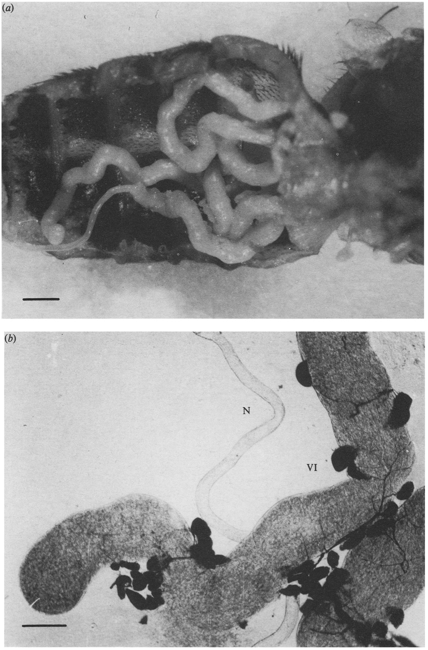 hight resolution of  a hypertrophied virus infected salivary glands in the dissected abdomen of