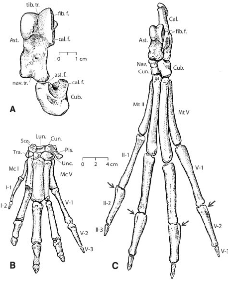 Right astragalus and cuboid ( A ) of Artiocetus clavis