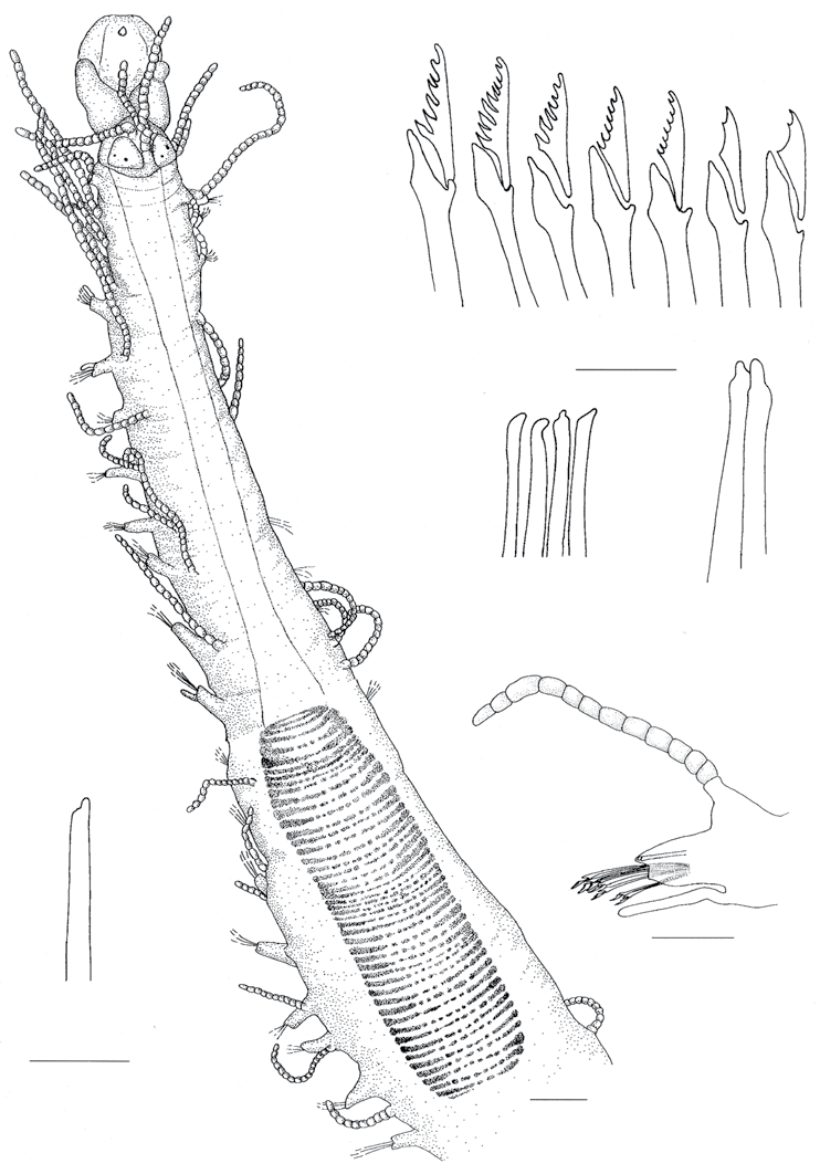 Syllis sp. A. Parte anterior, vista dorsal; B. Sedas