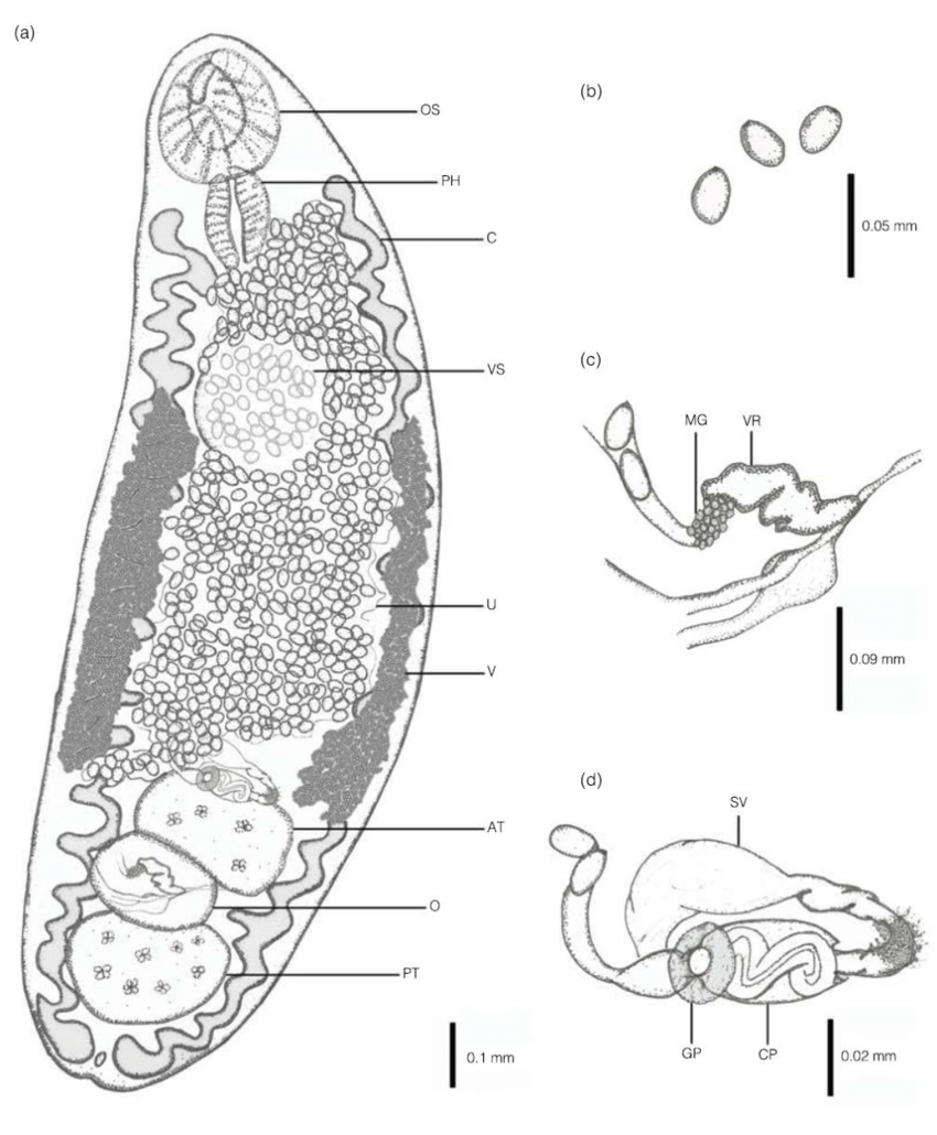 hight resolution of brachylaima sp from a stray dog canis familiaris a ventral view