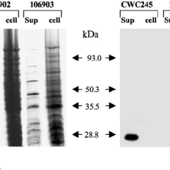 Horse Gi Diagram Onion Cell Western Blot Analysis Of Cpb2 Production By Selected Disease Download Scientific