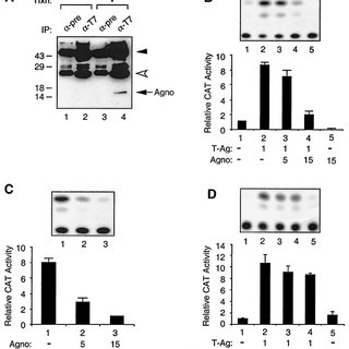 (PDF) Interaction of JC Virus Agno Protein with T Antigen