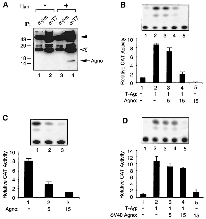 Effect of Agno protein on transcriptional activity of the