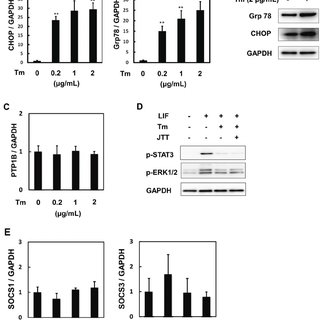 Tunicamycin inhibits the activation of STAT3 and ERK by