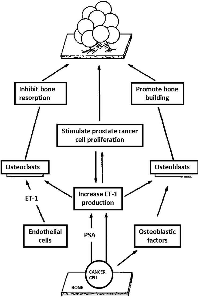 Diagram showing the interaction of prostate cancer cells