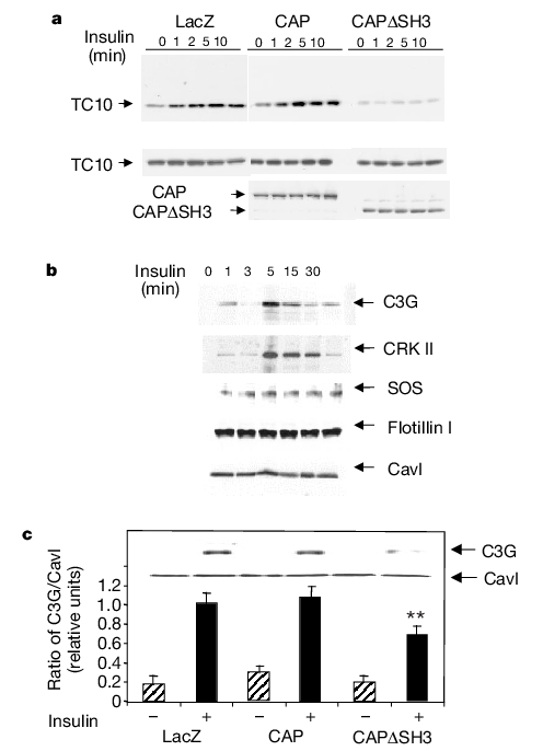 Overexpression of C3G and constitutively active p110 in