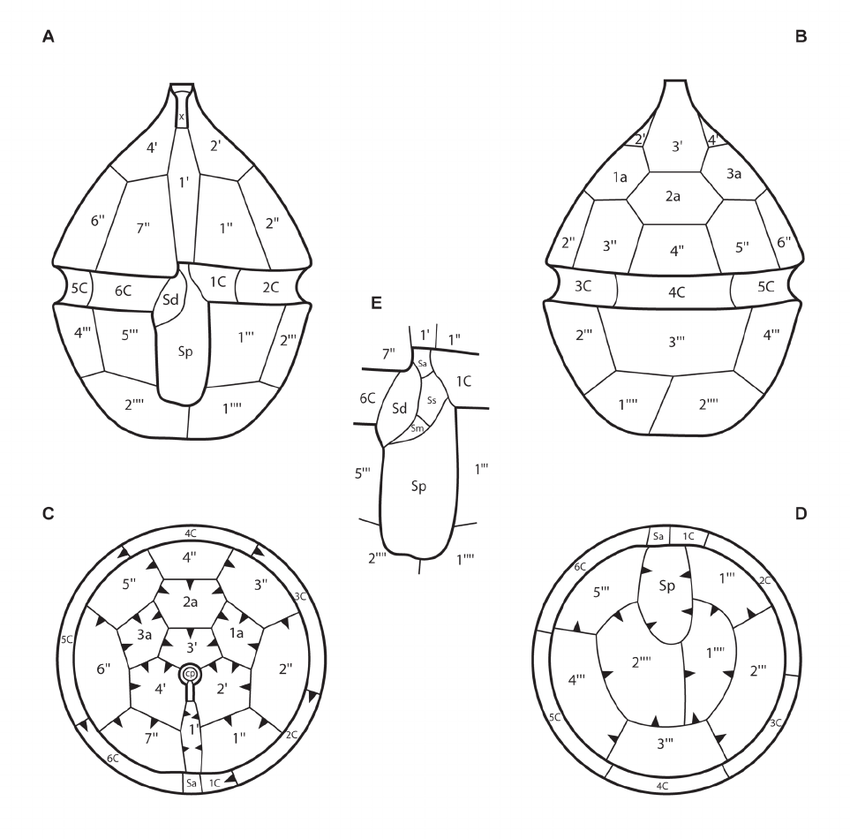 Schematic drawing of the thecal plates. A. Ventral view. B