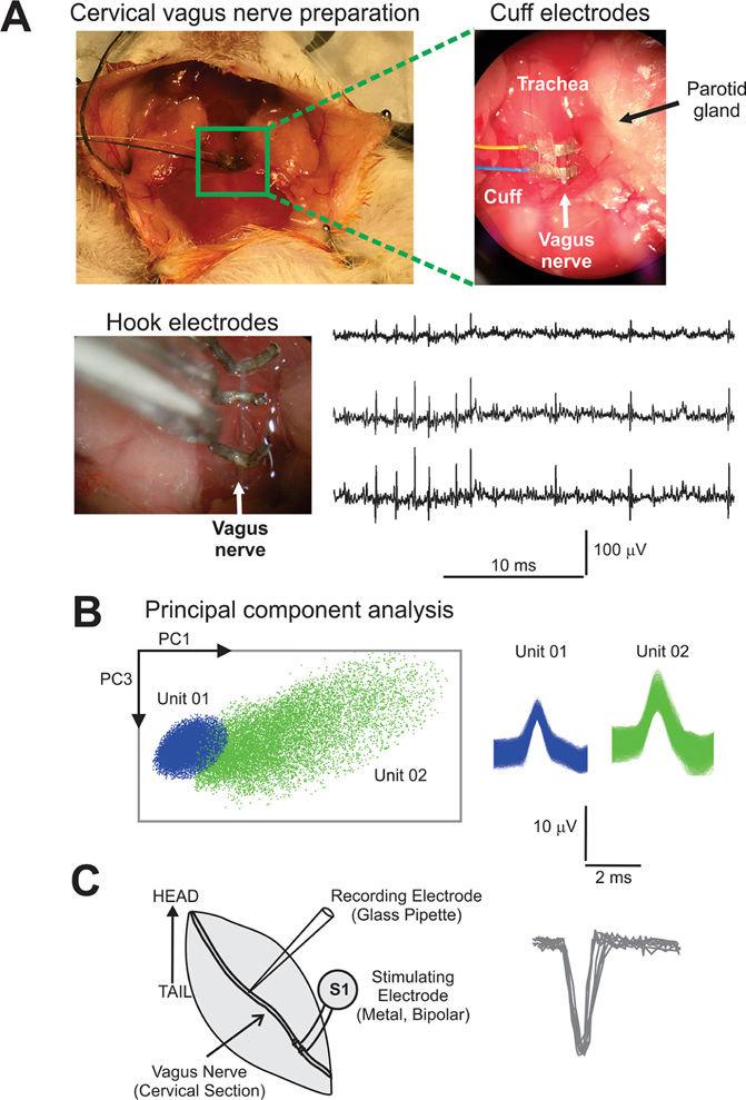 vagus nerve diagram low voltage wiring electrophysiological recording system for the cervical a download scientific