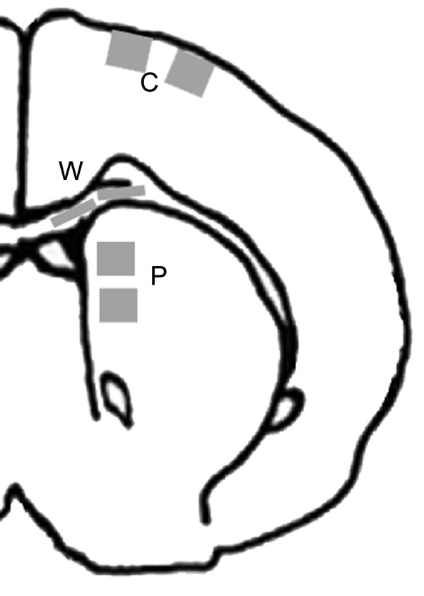 Schematic diagram of rat brain showing shaded areas in