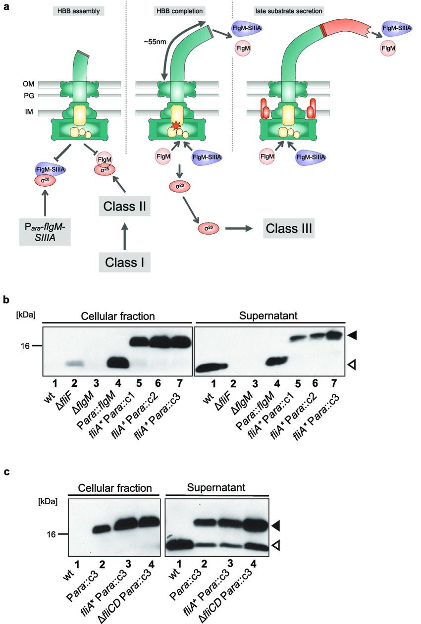 medium resolution of engineering the flagellar type iii secretion system for the secretion of siiia conotoxins a