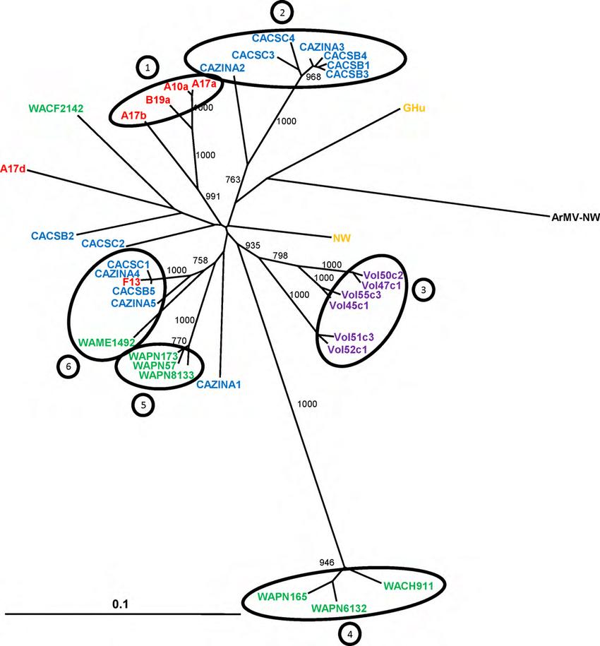 Phylogenetic tree showing genetic relationships between