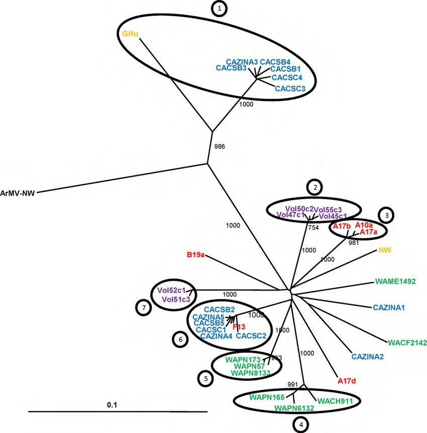 Phylogenetic tree showing genetic relationships among GFLV