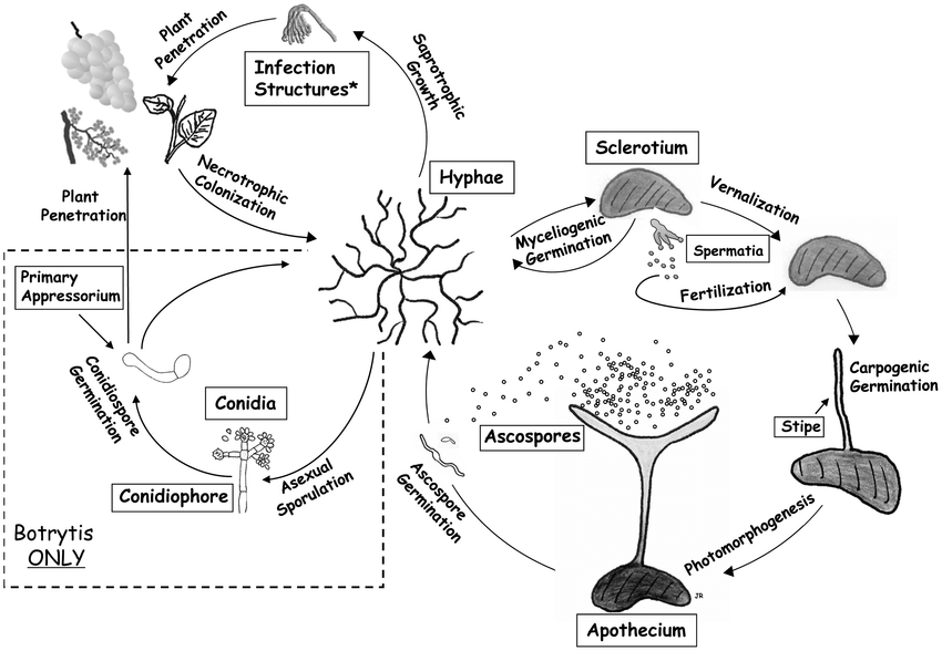 Lifecycle of S. sclerotiorum and B. cinerea, with