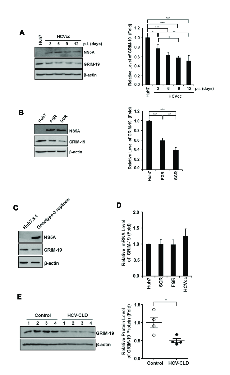 GRIM-19 Restricts HCV Replication by Attenuating
