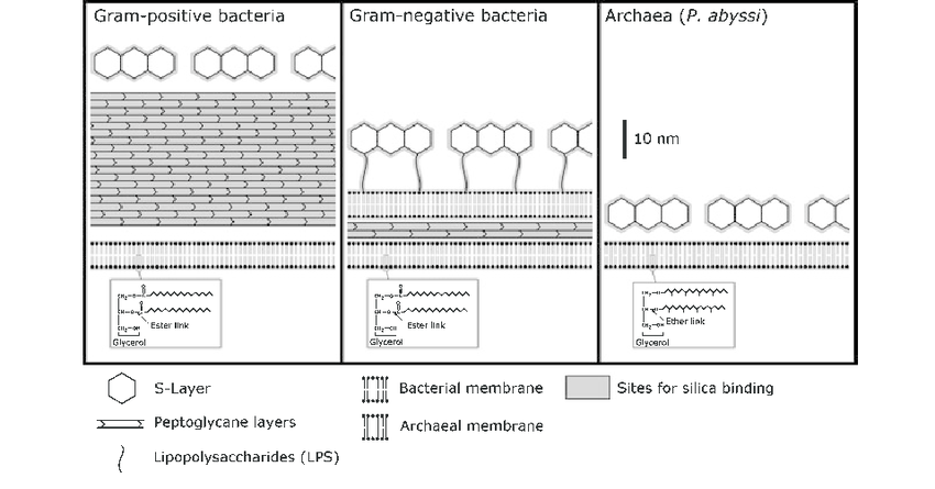 Schematic representation of the cell-wall structure of the