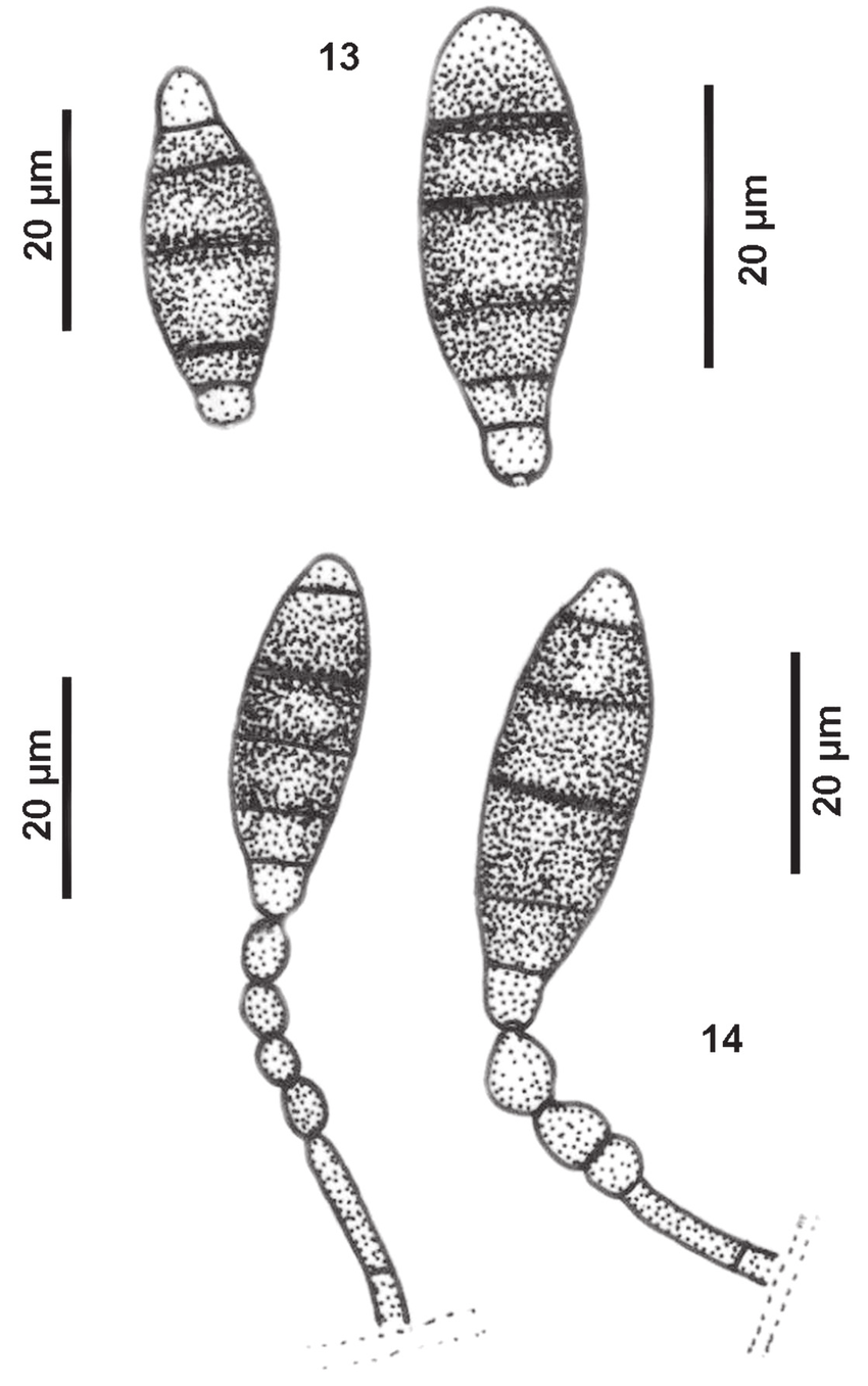Polyschema amoenum, drawings from holotype (VEN 395758
