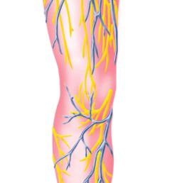 1 superficial veins of the lower extremity  [ 496 x 1620 Pixel ]