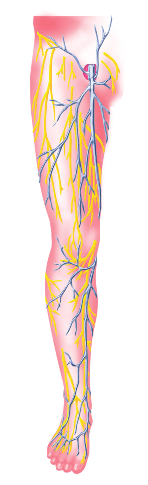 hight resolution of 1 superficial veins of the lower extremity