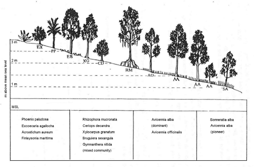 Cross section of the mangrove forest in the brackish water