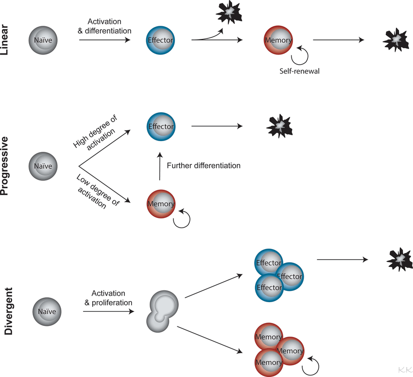 Three proposed models for memory T cell differentiation