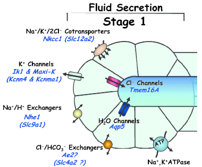 Primary saliva secretion model, and increase the risk for cavities, Chewing is the most efficient way to stimulate salivary flow, Fluid secretion is ...