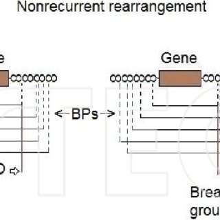 Schematic structure of chromosomes in meiosis. A