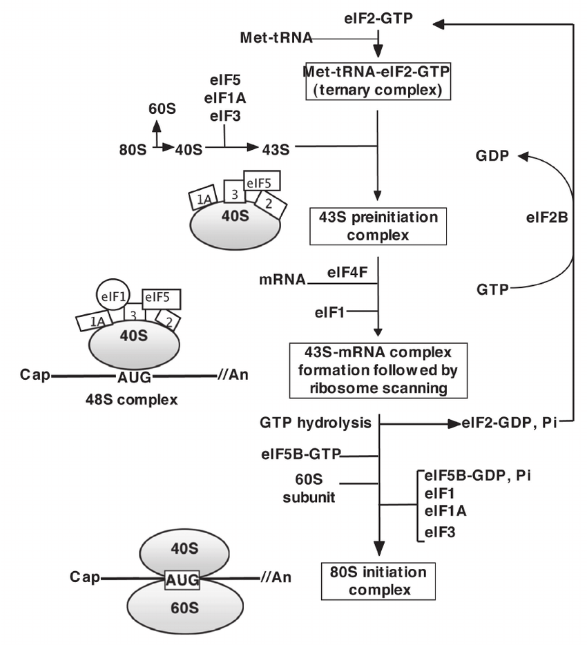 medium resolution of schematic diagram of translation initiation in eukaryotes translation of mrna into protein begins after assembly of initiator trna mrna and both ribosomal