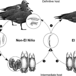 Bird Life Cycle Diagram Allen Bradley Mcc Wiring Diagrams Showing The Of P Altmani During En And Non Conditions 1 Adult In Host Marine Birds Intestine