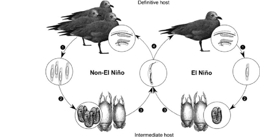 Diagram showing the life cycle of P. altmani during EN and