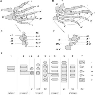 (PDF) Heterochrony in Limb Evolution: Developmental