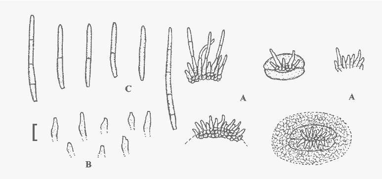 Pseudocercosporella alliicola , A