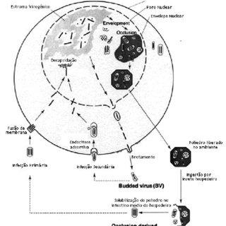 2. Mapa do vetor pFastBac1. (Retirado do manual do Bac-to