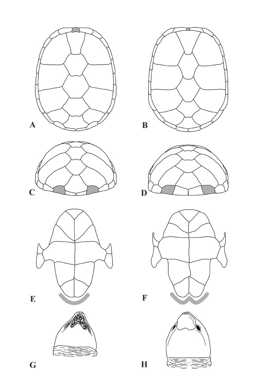 Diagnostic differences between Kinosternon cora sp. nov