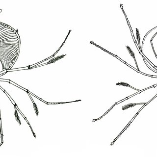 (PDF) Findings of Phyllosoma Larvae and Nistos of the