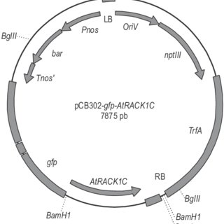 Diagram showing the main features of the plasmid pCB302