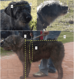 photographic representation of the fonni s dog schematic indication of the measurements collected for documentation of breed structure  [ 850 x 1021 Pixel ]