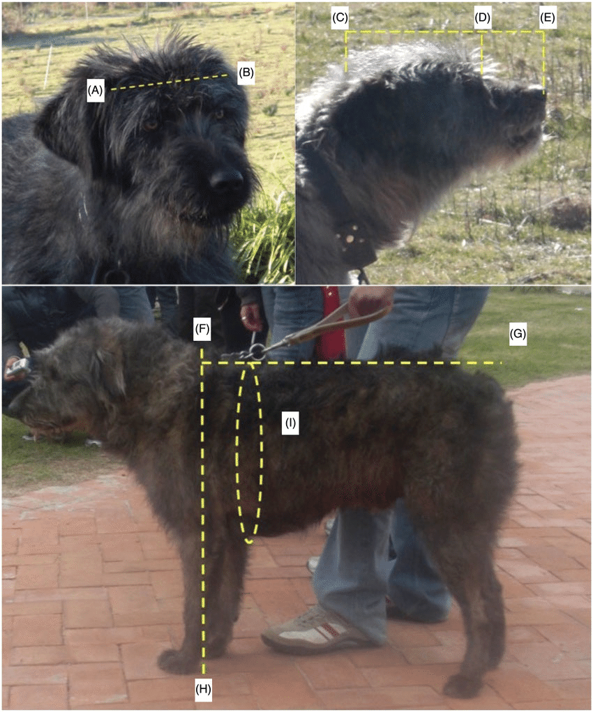 hight resolution of photographic representation of the fonni s dog schematic indication of the measurements collected for documentation of breed structure
