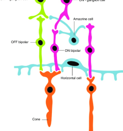 4 schematic drawing of two types of bipolar cells and their bipolar cells diagram [ 850 x 1160 Pixel ]