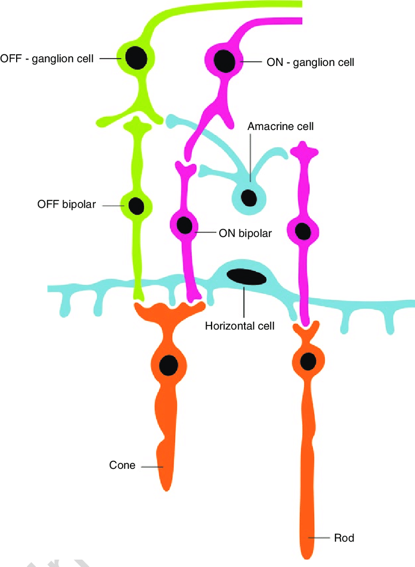 medium resolution of 4 schematic drawing of two types of bipolar cells and their bipolar cells diagram
