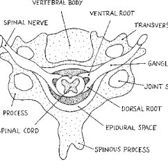 Cervical Vertebrae Diagram Redarc Dual Battery System Wiring Schematic Drawing Transverse Section Of The Vertebra With Adjacent Nerve Structures
