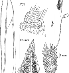 fissidens glaucissimus a plant with sporophyte b leaf c leaf download scientific diagram [ 850 x 1211 Pixel ]
