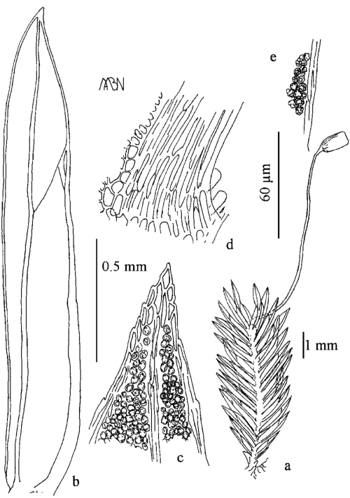 small resolution of fissidens glaucissimus a plant with sporophyte b leaf c leaf download scientific diagram