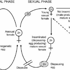 Rotifer Diagram Labeled Chevy Wiring Diagrams Free Weebly Schematic Of The Life Cycle Monogonont Rotifers Dashed Line Indicates Insemination Asexual Females Can Produce Either Daughters Or