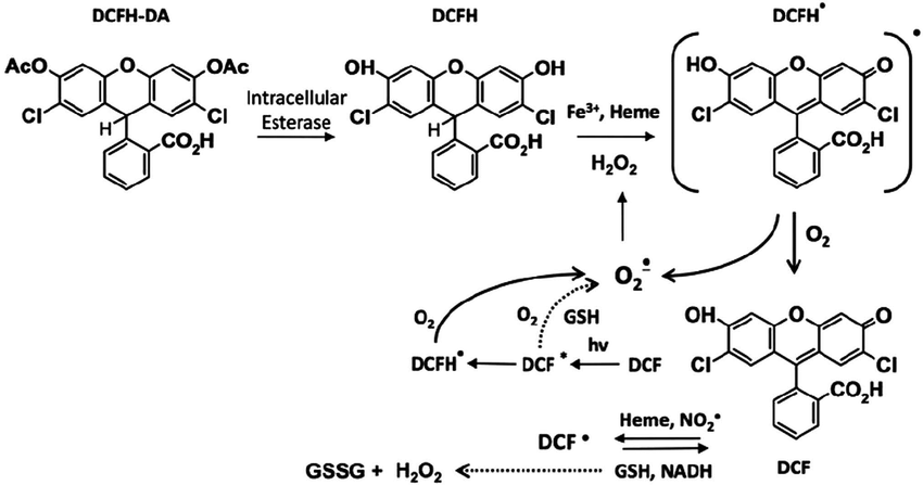 Formation of fluorescent product DCF. Intracellular