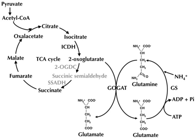 2OG, produced from isocitrate in the TCA cycle, can be used by all | Download Scientific Diagram