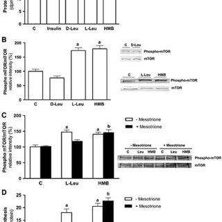 Effects of L-Leu and HMB on protein synthesis and mTOR