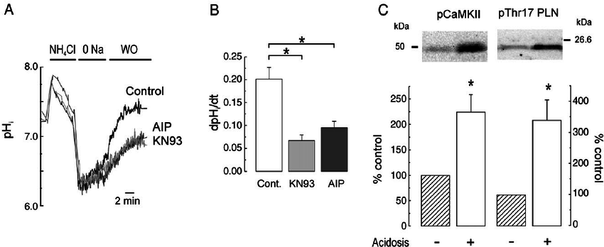 Ca2+/calmodulin-dependent protein kinase II contributes to