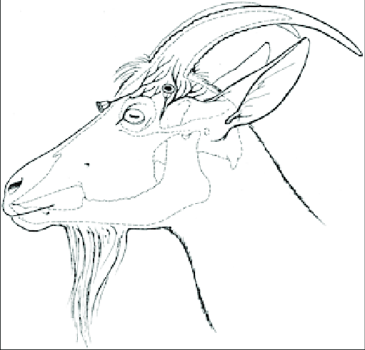 Needle placement sites for cornual nerve block in the goat