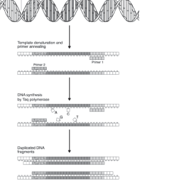 schematic diagram of pcr showing that each cycle contains three steps annealing of primers [ 815 x 1005 Pixel ]